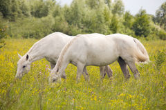 Beautiful white horses. Two beautiful white horse grazing on a ranch Stock Photos