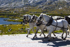 Beautiful white horses on a mountain. road in Stock Photo