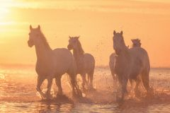 White horses run gallop in the water at sunset, Camargue, Bouches-du-rhone, France. Beautiful white horses run gallop in the water at soft yellow sunset light royalty free stock images