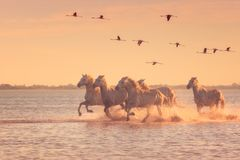 White horses run gallop in the water against the background of flying flamingos at sunset, Camargue, France stock photo