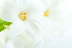 Beautiful white hyacinth Royalty Free Stock Images