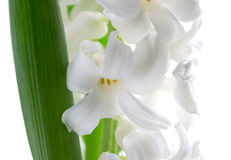 Beautiful white hyacinth. Beautiful white hyacinth . White background. Selective focus on lower inflorescence, shallow DOF Stock Photos