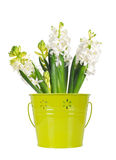 Beautiful white hyacinth flower, in a green bucket, isolated on w Royalty Free Stock Photos