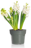 Beautiful white hyacinth flower in a pot, on white back. Beautiful white hyacinth flower in a pot, isolated on white background Stock Photography
