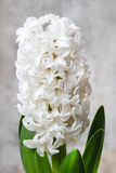 Beautiful white hyacinth flower Royalty Free Stock Images