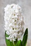 Beautiful white hyacinth flower Royalty Free Stock Images