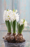 Beautiful white hyacinth flower Stock Photo