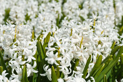 Beautiful white hyacinth flowers Stock Photo