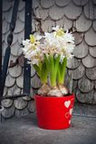 Beautiful white hyacinth flowers blossom in a red pot near to the house. Spring white flowers stock photos