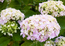 Beautiful white hydrangea flower heads with green leaves background. England; UK royalty free stock photography