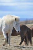 Beautiful White Icelandic Horse with His Eyes Closed. Gorgeous meandering white Icelandic horse with his eyes closed in a field Royalty Free Stock Photography