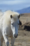 Beautiful White Icelandic Horse in Iceland. Up close with the face of a white Icelandic horse in a field in Iceland Royalty Free Stock Photo
