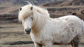 Beautiful white Icelandic horse portrait. Horse's mane moving Royalty Free Stock Images