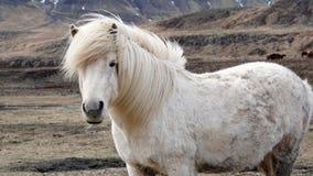 Beautiful white Icelandic horse portrait. Horse's mane moving Royalty Free Stock Image