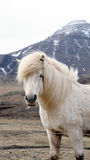 Beautiful white Icelandic horse portrait. Horse's mane moving Stock Photo