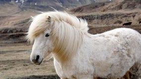 Beautiful white Icelandic horse portrait. Horse's mane moving Stock Photography