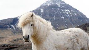 Beautiful white Icelandic horse portrait. Horse's mane moving Stock Image