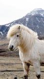 Beautiful white Icelandic horse portrait. Horse's mane moving Royalty Free Stock Photo