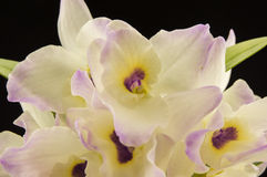 Beautiful white innocent orchid Phalaenopsis on a Royalty Free Stock Images