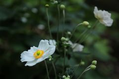 Beautiful white japanese anemone flowers. It is very lovely with white color royalty free stock photos
