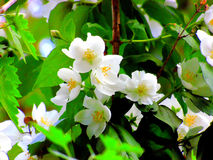 Beautiful white jasmine blossoms. Delightful fragrant jasmine bush flowers in bloom Royalty Free Stock Photos