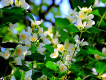 Beautiful white jasmine blossoms. Delightful fragrant jasmine bush flowers in bloom Stock Images