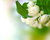 Beautiful White Jasmine Flowers Stock Photo