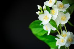 Beautiful white jasmine flowers on a branch isolated on black. Background stock image