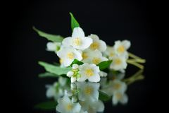 Beautiful white jasmine flowers on a branch isolated on black. Background royalty free stock image
