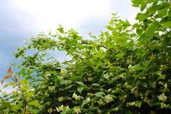 Beautiful white Jasmine flowers in the bush royalty free stock photo
