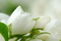 Beautiful White Jasmine Flowers. A close-up shot of beautiful white jasmine flowers - horizontal orientation royalty free stock images