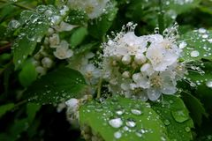 Beautiful white jasmine flowers and leaves with big transparent rain drops. Closeup view Stock Photography