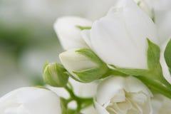 Beautiful White Jasmine Flowers Macro Royalty Free Stock Photos