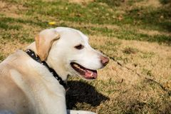 White Lab in the Sun stock images