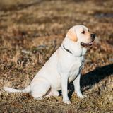 Beautiful White Labrador Lab Dog Outdoor Portrait Royalty Free Stock Image