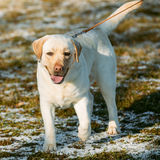 Beautiful White Labrador Lab Dog Outdoor Portrait Royalty Free Stock Images