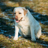 Beautiful White Labrador Lab Dog Outdoor Portrait Stock Photos