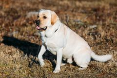 Beautiful White Labrador Lab Dog Outdoor Portrait Stock Images
