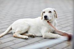 A cute dog labrador lying on the street. Pet concept. stock photos