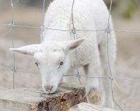 Beautiful white lamb and a fence Stock Photo