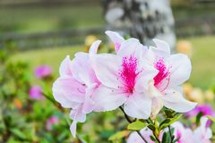 Beautiful white light pink azalea flowers blooming in a winter season at a botanical garden. stock images