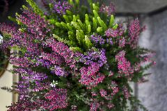 Beautiful white - lilac autumn bouquet of heather royalty free stock image