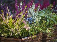 Beautiful white - lilac autumn bouquet of heather stock photos
