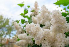 Beautiful white lilac flowers. Against the background of the blue sky royalty free stock images