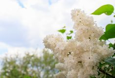 Beautiful white lilac flowers stock photo