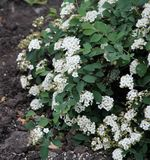 Beautiful white flowers on a green Bush royalty free stock image