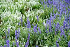 Beautiful white and lilac lavender filed stock images