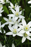Beautiful White Lilies. In green grass Royalty Free Stock Photos