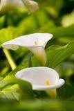 Beautiful white lilies Royalty Free Stock Photo