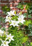 Beautiful white Lilies. Beautiful white Lilies in a flowerbed Royalty Free Stock Images